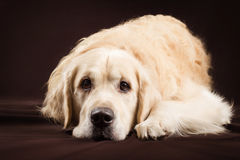 Purebred golden retriever pies na brown tle Obraz Royalty Free