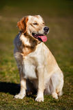 Purebred golden retriever standing up Royalty Free Stock Image