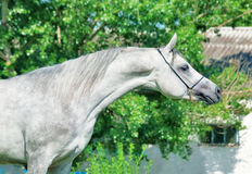 Purebred gray Arabian stallion. Outdoor Royalty Free Stock Images