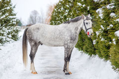 Free Purebred Gray Horse On A Background Of Green Firs Royalty Free Stock Photos - 93478328