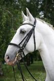 Purebred gray lipizzaner stallion under saddle Royalty Free Stock Photo