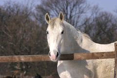 Purebred gray stallion at wintertime Royalty Free Stock Photo