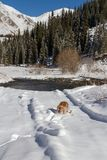 English cocker spaniel dog playing in the snow stock images
