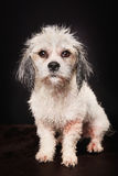 Purebred Havanese dog Stock Photos