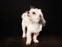 Purebred Havanese dog Royalty Free Stock Photos