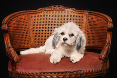 Purebred Havanese dog Stock Photo