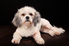 Purebred Havanese dog Stock Images