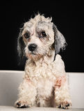 Purebred Havanese dog Royalty Free Stock Image