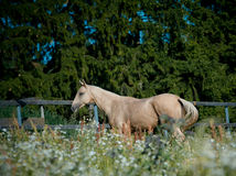 Purebred horse Royalty Free Stock Photography