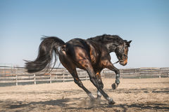 Purebred Horse. A black horse gallops in sand Royalty Free Stock Photos