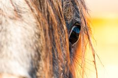 Purebred horse eye close up shot at sunset. stock photo