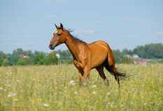 Purebred horse in field Stock Photos