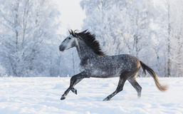 Purebred horse galloping across a winter snowy meadow Royalty Free Stock Photos