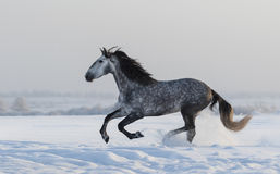 Purebred horse galloping across a winter snowy meadow Stock Image