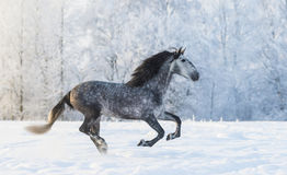 Purebred horse galloping across a winter snowy meadow Royalty Free Stock Images