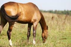 Free Purebred Horse Grazing Stock Image - 10885361