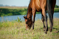 Purebred horse grazing. Nearby the river Royalty Free Stock Image