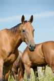 Purebred horse in herd Stock Photo