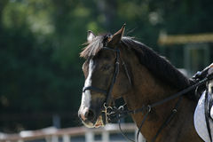 Purebred horse portrait during show jumping competition Royalty Free Stock Photo