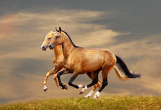 Purebred horses Stock Photos