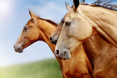 Purebred horses closeup Stock Image
