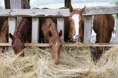 Purebred horses eating hay Stock Image