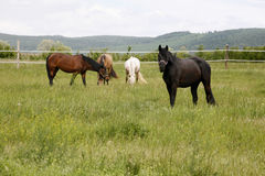 Purebred horses graze the fresh green grass on beautiful meadow Stock Photo