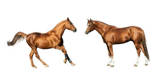 Purebred horses isolated Royalty Free Stock Photography