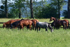 Purebred horses on pasture and nice landscape Stock Images