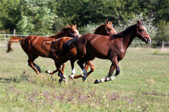 Purebred horses runs on meadow in a sunny day Royalty Free Stock Photos