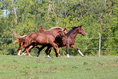Purebred horses runs on meadow in a sunny day. Young stallions galloping on pasture summertime Stock Image