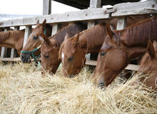 Purebred horses with their heads down eating hay Stock Images
