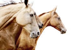 Purebred horses Royalty Free Stock Photo