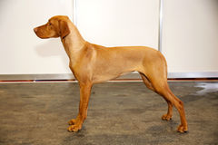 Purebred hungarian vizsla canine against white wall background Royalty Free Stock Images