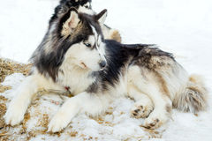 Purebred husky lying on snow Stock Photos