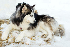 Purebred husky lying on snow Stock Images