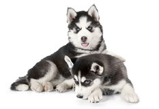 Purebred Husky puppies isolated on white Stock Images