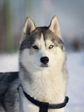 Purebred husky in winter Stock Images