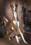 Purebred Ibizan Hound dog indoors Royalty Free Stock Images