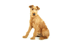 Purebred Irish Terrier Royalty Free Stock Image