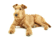 Purebred Irish Terrier Stock Images