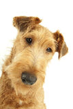 Purebred Irish Terrier Stock Image