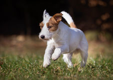 Purebred Jack Russell Terrier dog Royalty Free Stock Photography