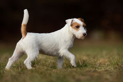 Purebred Jack Russell Terrier dog Stock Photo