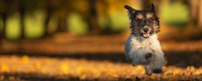 The adorable Jack Russell Terrier is running in a colorful autumn forest. stock photos