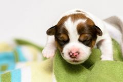 Purebred Jack Russell terrier puppies. Purebred Jack Russell terrier, puppies Stock Photos