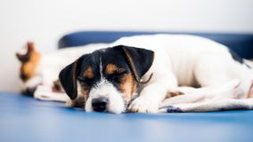 A purebred jack russell terrier puppy lies on the couch, in the background his mother. royalty free stock images