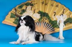 Purebred japanese hin studio portrait stock image