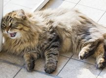 Fluffy cat in meowing time, brown tabby male siberian. Purebred kitten lying outdoor. Siberian male cat with long hair Royalty Free Stock Photos