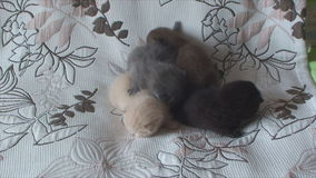 Purebred kittens of different colors lie on the bed stock footage